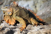 Iguana Metal Prints - Basking In The Sun Metal Print by Adam Jewell