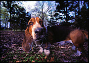 Pictures Of Dogs  Prints - Basset Hound Print by Chip Simons