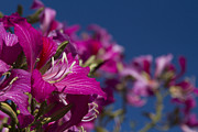 Hong Kong Art - Bauhinia Purpurea - Hawaiian Orchid Tree by Sharon Mau
