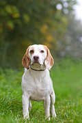 Dog Walking Posters - Beagle being walked off a lead in the field Poster by Fizzy Image