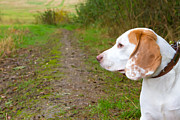 Dog Walking Posters - Beagle in a field looking out Poster by Fizzy Image