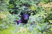 Alaska Prints Photos - Bear by Kyle Lavey