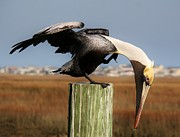 Paulette Thomas Photography Posters - Beautiful Pelican Poster by Paulette  Thomas