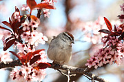Chipping Sparrow Posters - Beautiful Sparrow Poster by Trina  Ansel