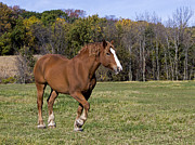 Belgian Draft Horse Photos - Belgian Draft Horse 1 by Gerald Marella