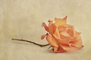 Apricot Metal Prints - Bellezza Metal Print by Priska Wettstein