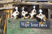 Bernese Mountain Dog Posters - Bernese Mountain Dog Puppies Sit In An Poster by Michael DeYoung