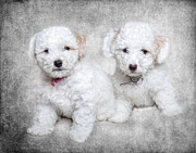Robert Jensen Metal Prints - Bichon Maltipoo Puppy Dogs Metal Print by Robert Jensen