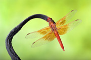Robert Jensen Metal Prints - Big red skimmer dragonfly Metal Print by Robert Jensen
