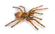 Spider Species Posters - Big spider isolated Poster by Michal Bednarek