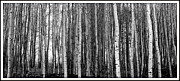 Irina Hays - Birch trees