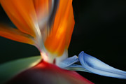 Bird Of Paradise Print by Sharon Mau
