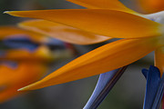 Bird Of Paradise - Strelitzia Reginae - Tropical Flowers Of Hawaii Print by Sharon Mau