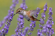 Rufous Hummingbird Posters - Bird of Summer Poster by Christian Heeb