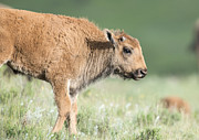 Bison Originals - Bison Baby by Deby Dixon