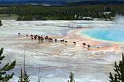 Great Outdoors Prints - Bison Crossing Edge of Grand Prismatic Spring in Yellowstone National Park Print by Shawn OBrien