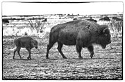 Bison Photos Posters - Bison Mother and Calf Poster by Melany Sarafis