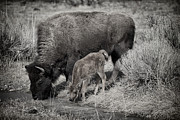 Wildlife Prints - Bison Mother With Newborn Print by Greg Norrell