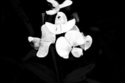 Black And White Framed Prints - Black and white violet Framed Print by Amy Lingle
