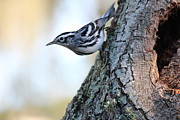 Rosanne Jordan - Black and White Warbler