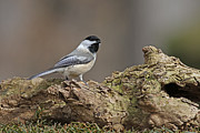 Jim Nelson - Black Capped Chickadee