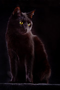 Black Cat Print by Dirk Ercken