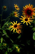Long Bed Posters - Black eyed  susans Poster by Todd and candice Dailey