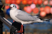 Susie Peek-Swint - Black-headed Gull