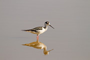Doug McPherson - Black-necked Stilt