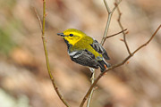Wood Warbler Posters - Black-throated Green Warbler Poster by Alan Lenk