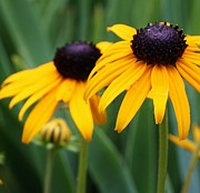 Blackeyed Susans Print by Bruce Bley