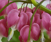 Bleeding Hearts Print by Diane Reed