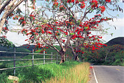 Regia Prints - Blooming Flamboyan Trees Along a Country Road Print by George Oze