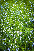 Flower Blooming Photos - Blooming flax  by Elena Elisseeva