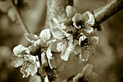 Almond Metal Prints - Blossoms Metal Print by Frank Tschakert