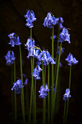 Blue Bells Print by Svetlana Sewell