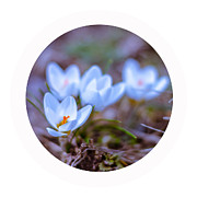 Crocus Framed Prints - Blue crocus Framed Print by Lyubomir Kanelov