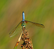 Bill Morgenstern - Blue Dasher