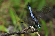 Dragonflies Metal Prints - Blue Dasher Metal Print by J Scott Davidson