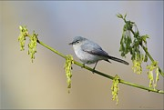 Daniel Behm Metal Prints - Blue Gray Gnatcatcher Metal Print by Daniel Behm