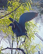 Bird Rookery Swamp Posters - Blue Heron Poster by Lizi Beard-Ward