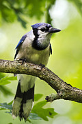 Passerine Framed Prints - Blue Jay Framed Print by Christina Rollo