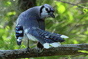 Blue Jay Picture Framed Prints - Blue Jay Photo Framed Print by Meg Rousher