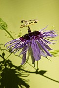 Passiflora Prints - Blue passion fruit flower Print by Maria Bedacht