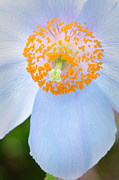 Spring Photos - Blue-poppy by Oscar Gutierrez