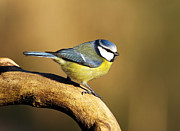 Small Bird Framed Prints - Blue tit Framed Print by Grant Glendinning
