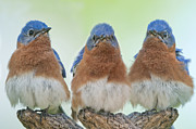 Sialia Sialis Metal Prints - Bluebirds of Happiness Metal Print by Bonnie Barry