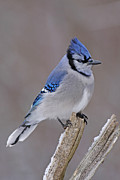 Bluejay Print by Jim Nelson