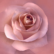 Light Pink Posters - Blushing Pink Rose Flower Poster by Jennie Marie Schell