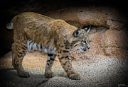 Bobcats Metal Prints - Bobcat Metal Print by Elaine Malott